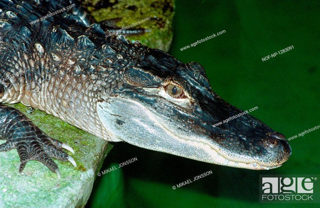 Stock Photo: Head of a crocodile in an aquarium.