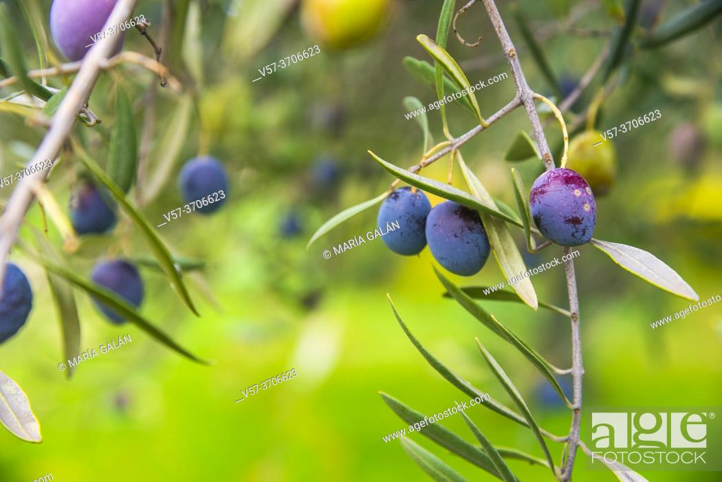 Stock Photo: Branch of olive tree with olives.