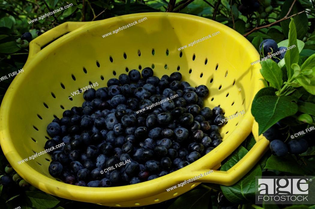Stock Photo: Freshly Picked Blue Berries, Pennsylvania.