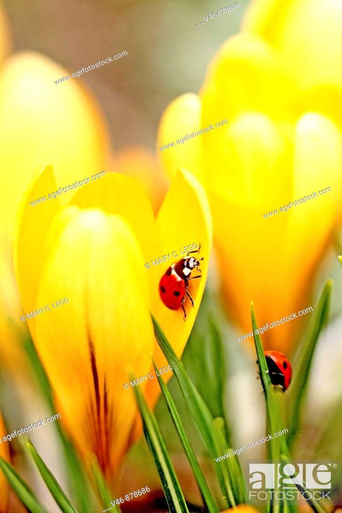 Stock Photo: Ladybird beetles on crocus  Coccinella septempunctata  A pair of Seven spot Ladybird beetles explore the denizens of crocus in a spring garden  One is inside a.
