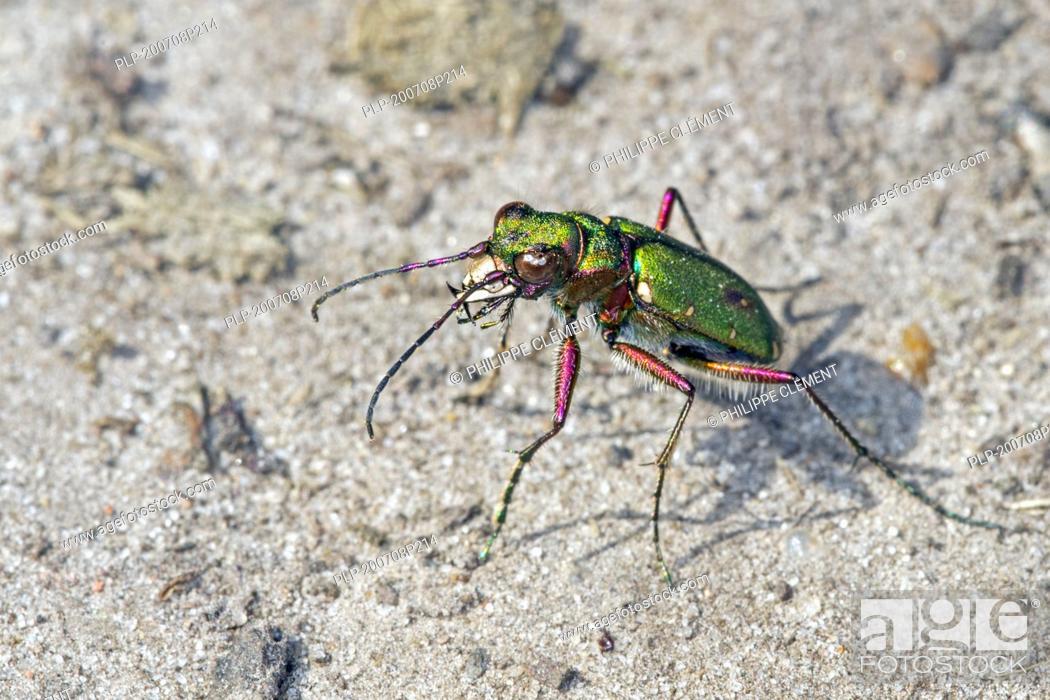 Imagen: Green tiger beetle (Cicindela campestris) sunning on dry sand in heathland and showing huge mandibles.