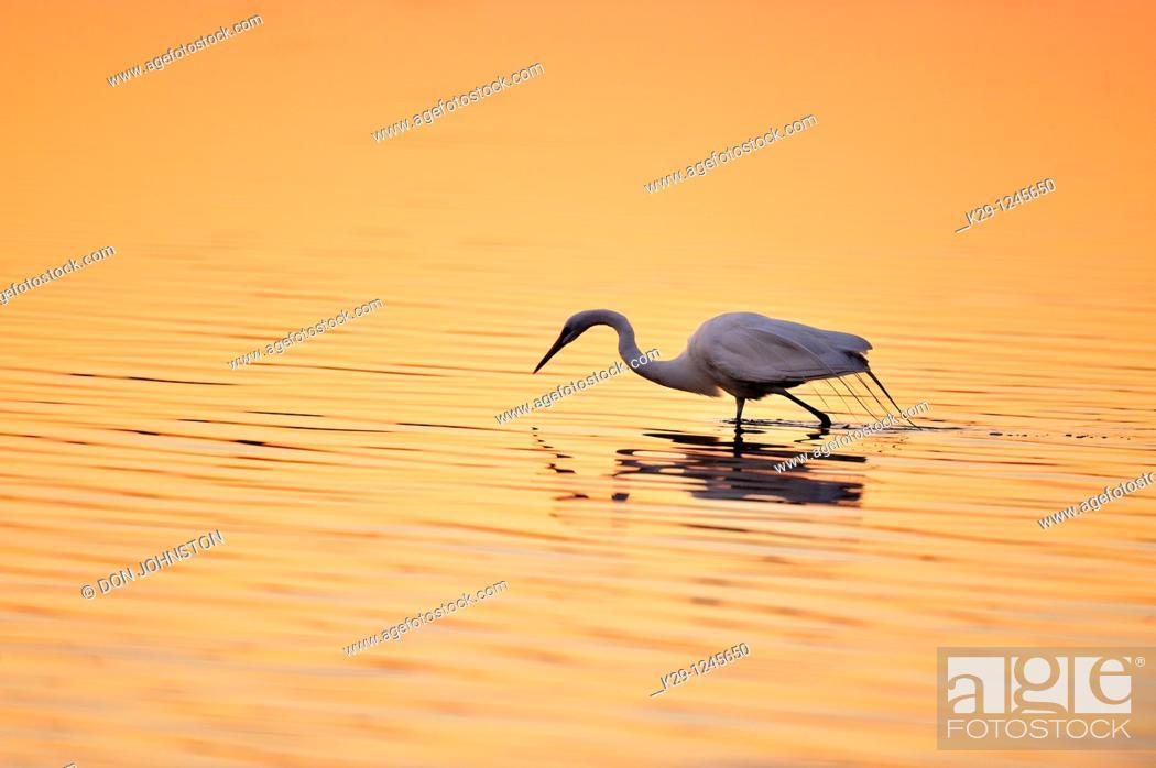Stock Photo: Great egret Casmerodius albus, Ardea alba, Egretta alba Hunting.