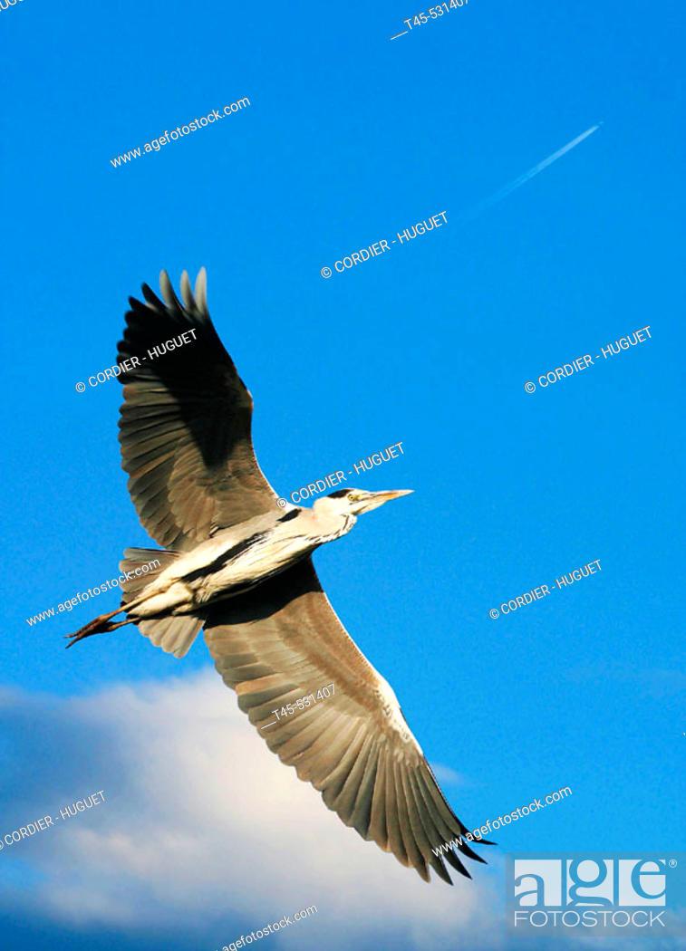 Stock Photo: Grey Heron (Ardea cinerea). Aiguamolls de l'Empordà  Natural Park (Spain).