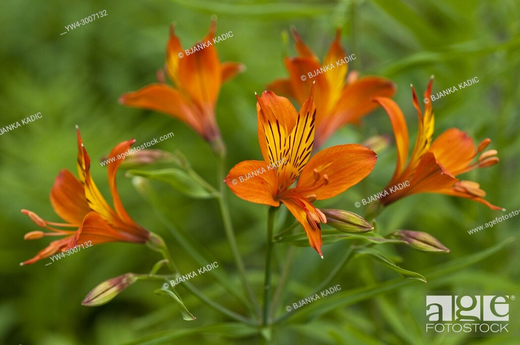 Photo de stock: Alstroemeria, Peruvian Lily or Lily of the Incas.