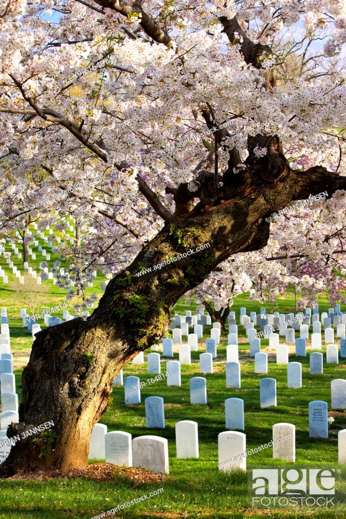 Stock Photo: Blossoming cherry trees stand guard over the tombstones at Arlington National Cemetery near Washington DC USA.