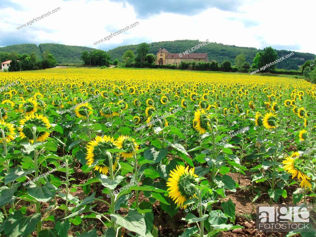Stock Photo: A sun flower field in Dordogne.