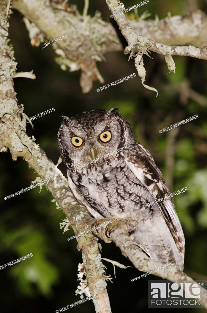 Stock Photo - Eastern Screech-Owl (Megascops asio) (Otus asio), adult at  night in Texas Oak (Quercus buckleyi), Uvalde County, Hill Country, Texas,  USA