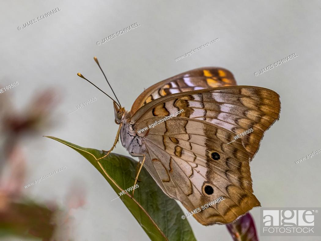 Photo de stock: Close-up of a White Peacock (Anartia jatrophae) butterfly.