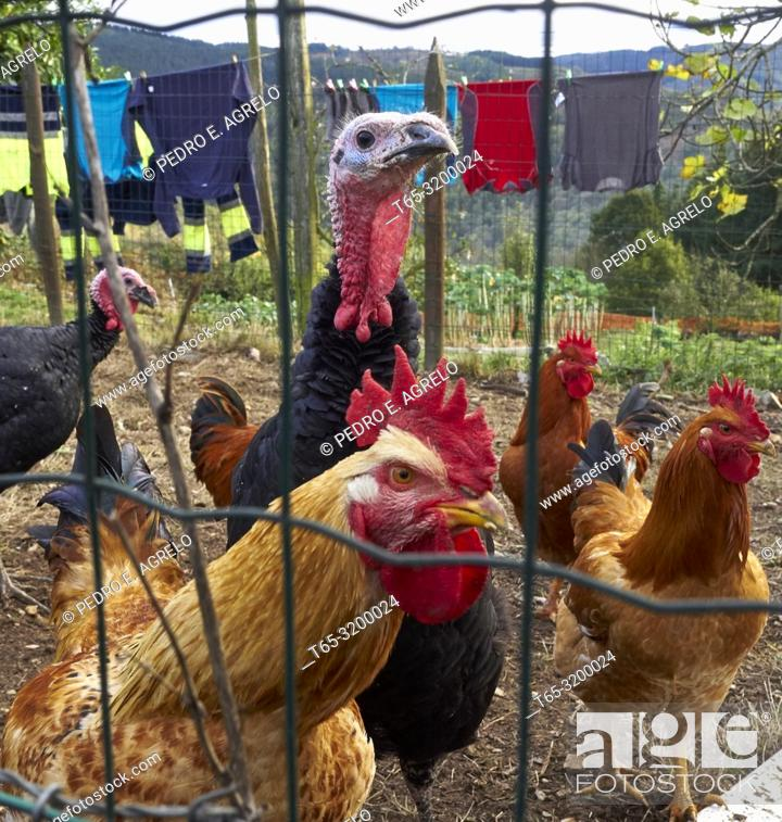 Stock Photo: Corral animals, chickens and turkeys, in a village in the province of Lugo.