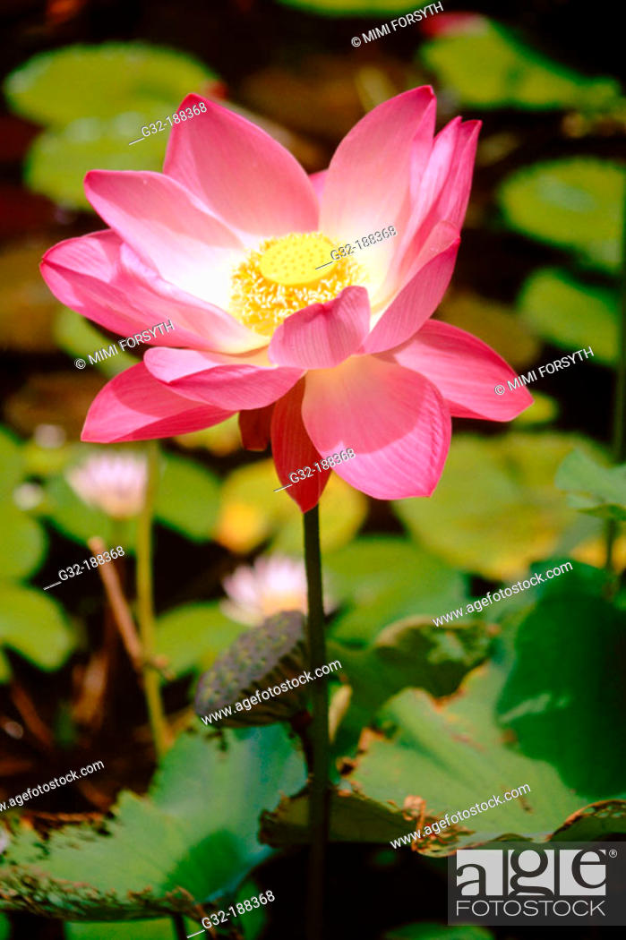 Indian Lotus Flower Nelumbo Nucifera Stock Photo Picture And