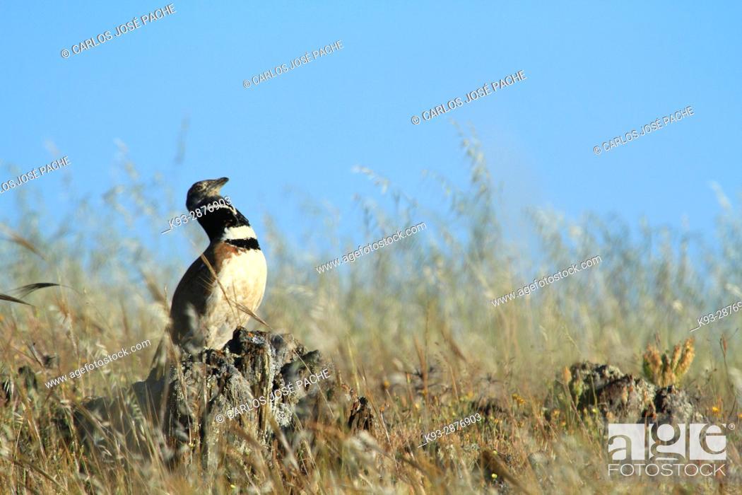 Stock Photo: Little bustard (Tetrax tetrax). Llanos de la Serena, Extremadura, Spain.