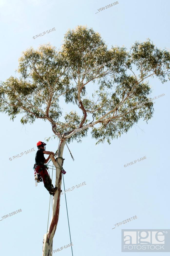 Stock Photo: Arborists prepare to remove the lopped trunk of a mature eucalypt from a backyard in Melbourne, Australia.