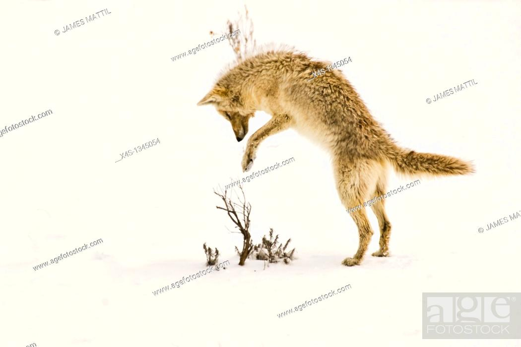 Stock Photo: A coyote pouncing on its prey hidden beneath the snow in Yellowstone Park.