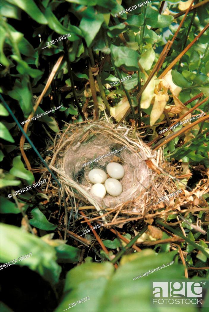 Stock Photo: Bird's eggs in nest.