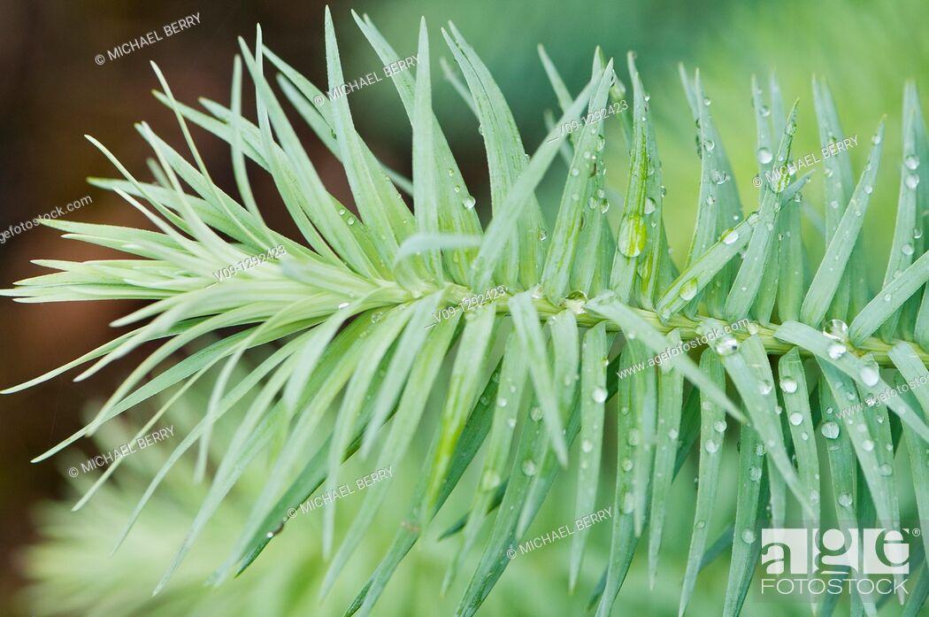 Photo de stock: Cunninghamia lanceolata, USA.