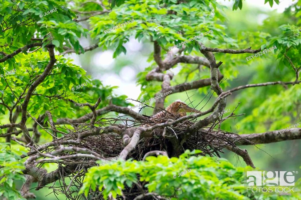 Stock Photo: Young tiger heron in treetop nest Costa Rica.