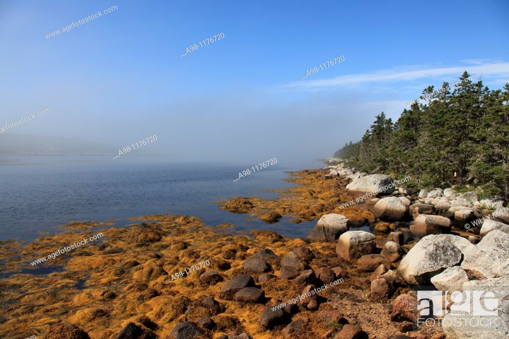 Stock Photo: plants on rocky shore at lowest tide at the Atlantic coast in the morning mist at Nova Scotia, Canada, North America.