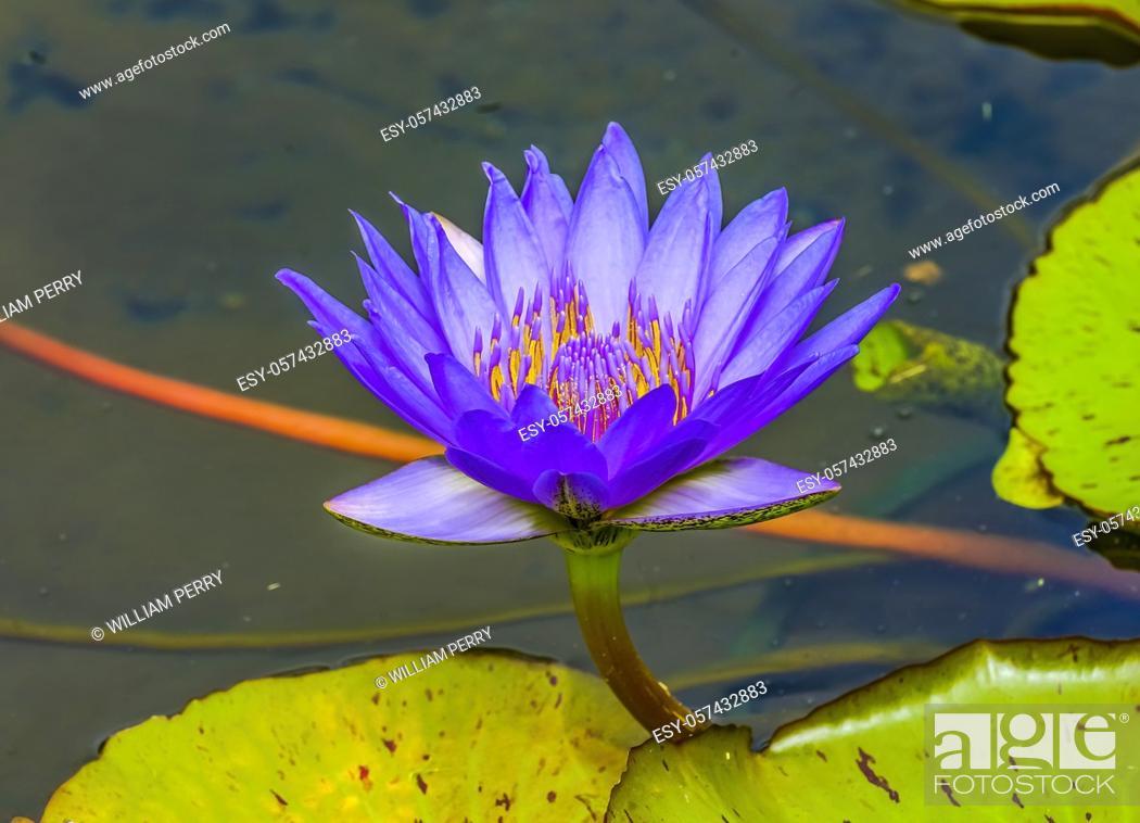 Stock Photo: Blue Water Lily Lotus Green Lily Pads Moorea Tahiti French Polynesia.