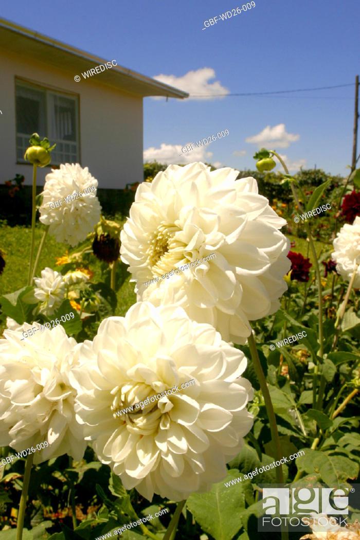 Stock Photo: Flowers, dahlia, nature.