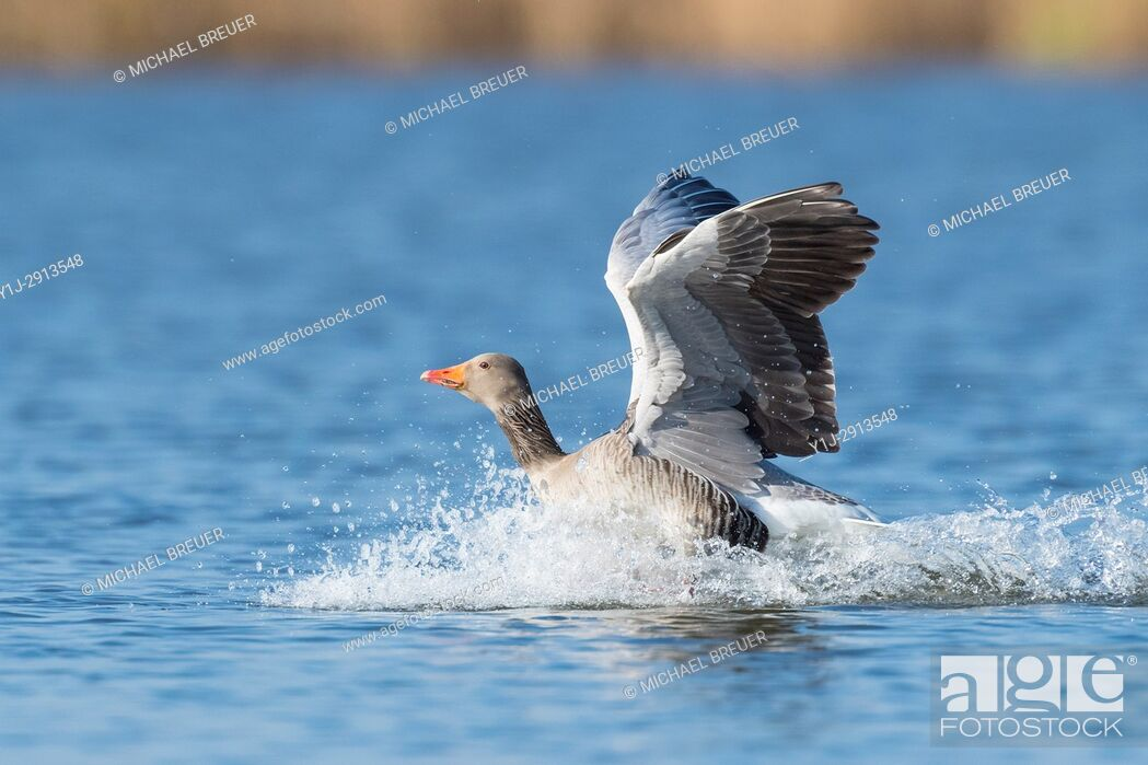 Stock Photo: Greylag goose, Anser anser, Hesse, Germany, Europe.