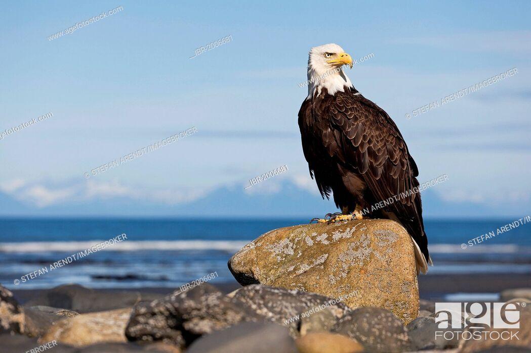 Stock Photo: Bald Eagle (Haliaeetus leucocephalus) on the beach at Anchor Point on the Cook Inlet, Alaska, USA.
