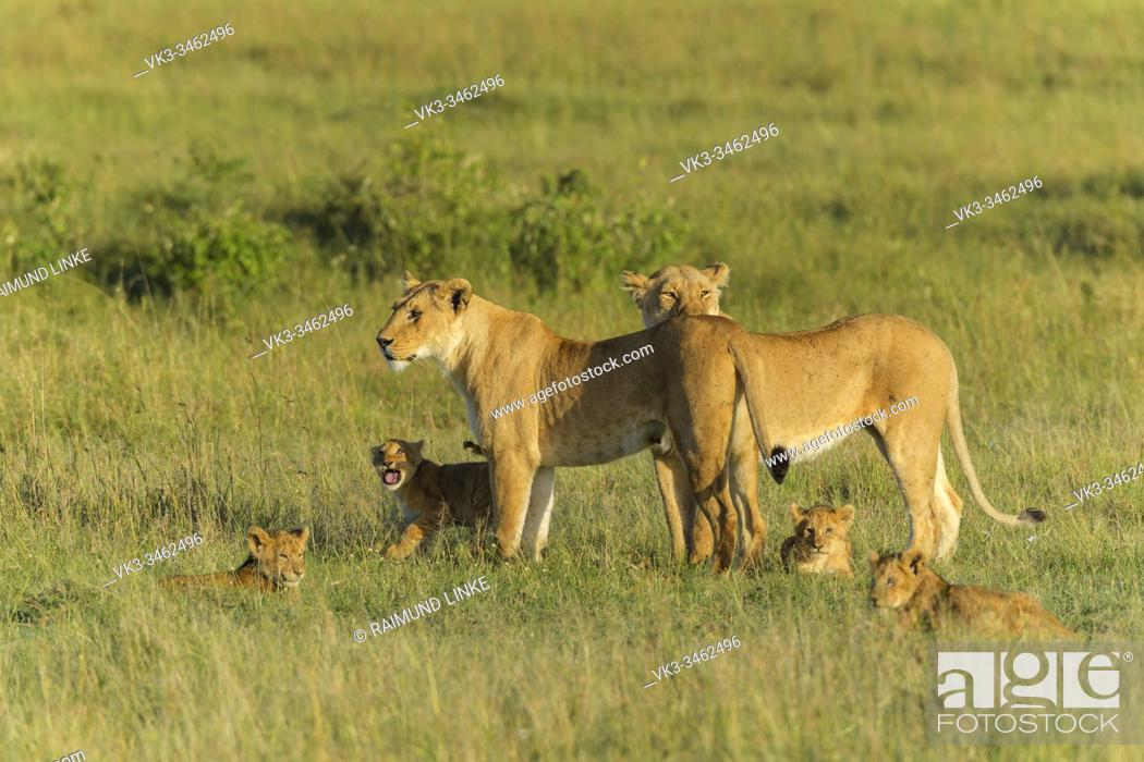 Photo de stock: African lion, Panthera Leo, two lioness with four cub, Masai Mara National Reserve, Kenya, Africa.