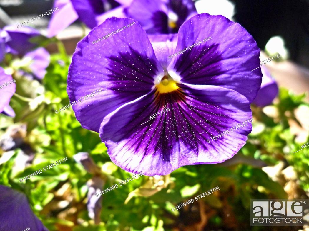 Stock Photo: Purple pansy.