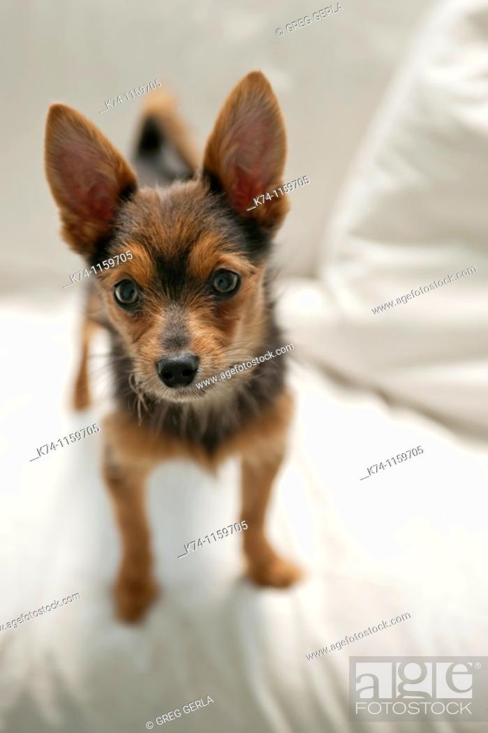 Stock Photo: Portrait of Small Dog.