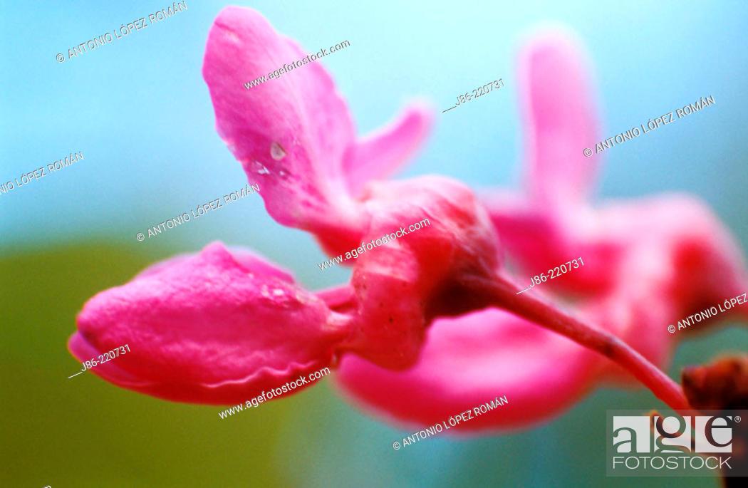 Stock Photo: Mediterranean Redbud (Cercis siliquastrum).
