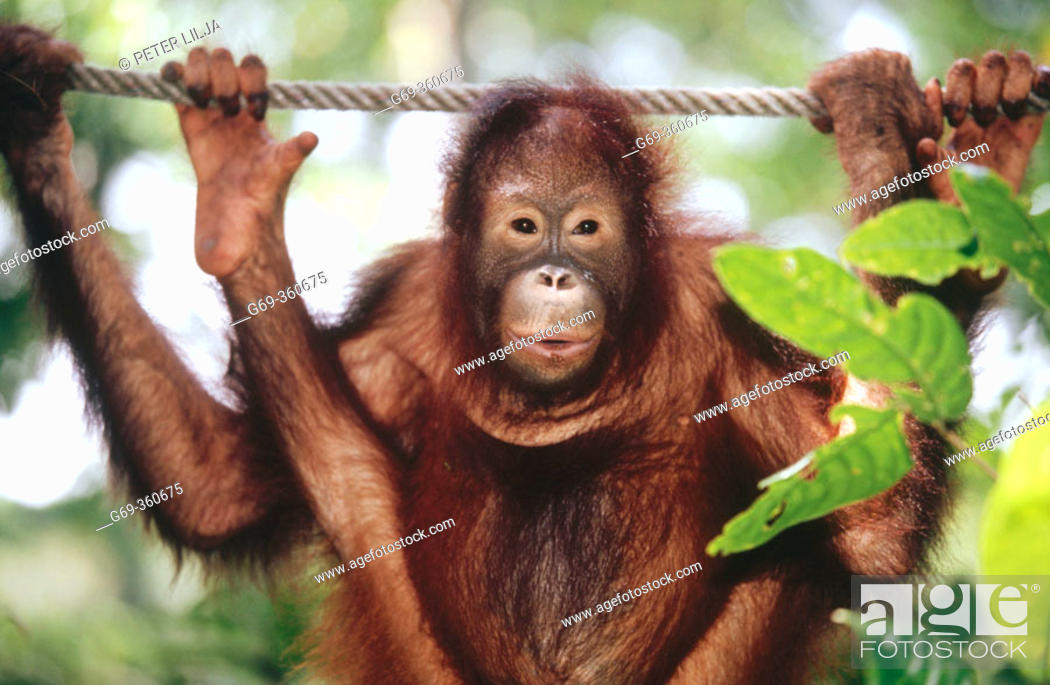 Stock Photo: Young Orang-Utan (Pongo pygmaeus) hanging on a rope and looking at camera. Sabah. Borneo, Malaysia.