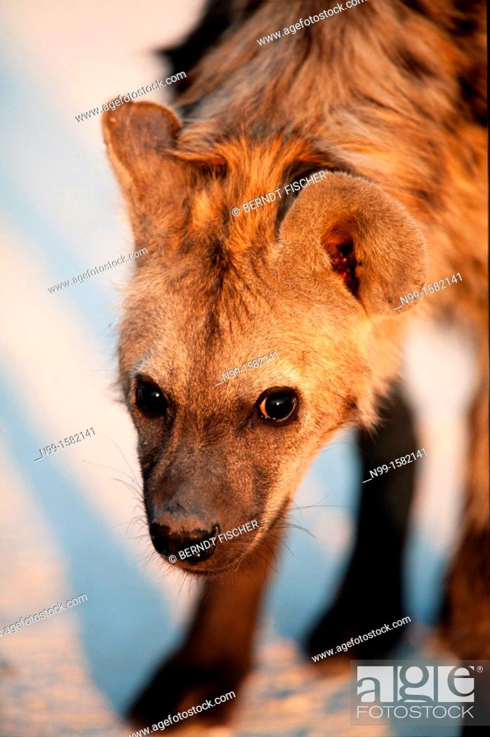 Stock Photo: Spotted Hyena Crocuta crocuta, standing in morning light and looking into the camera, Etosha National Park, Namibia.