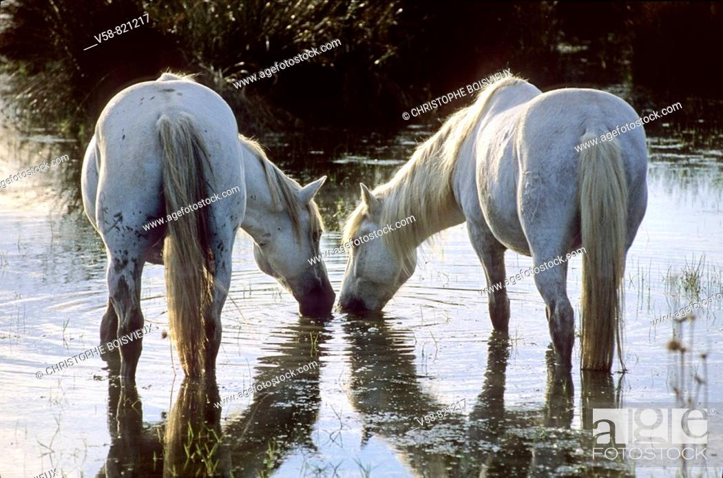 Stock Photo: Camargue horses near Saintes-Maries-de-la-Mer, Camargue, France.