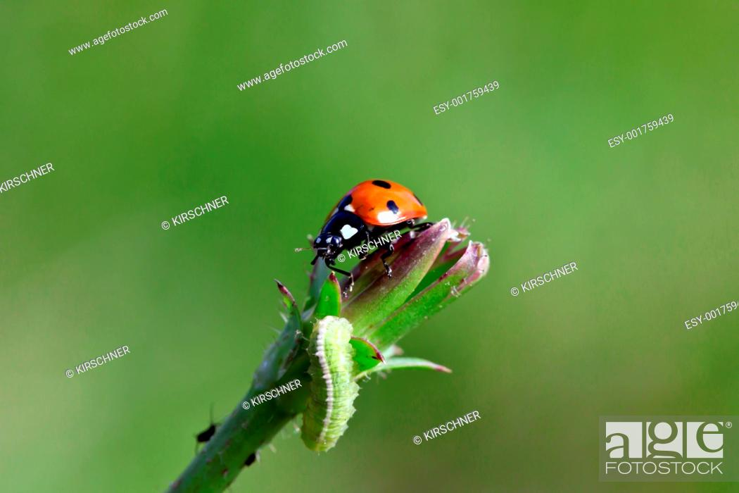 Stock Photo: Ladybird.