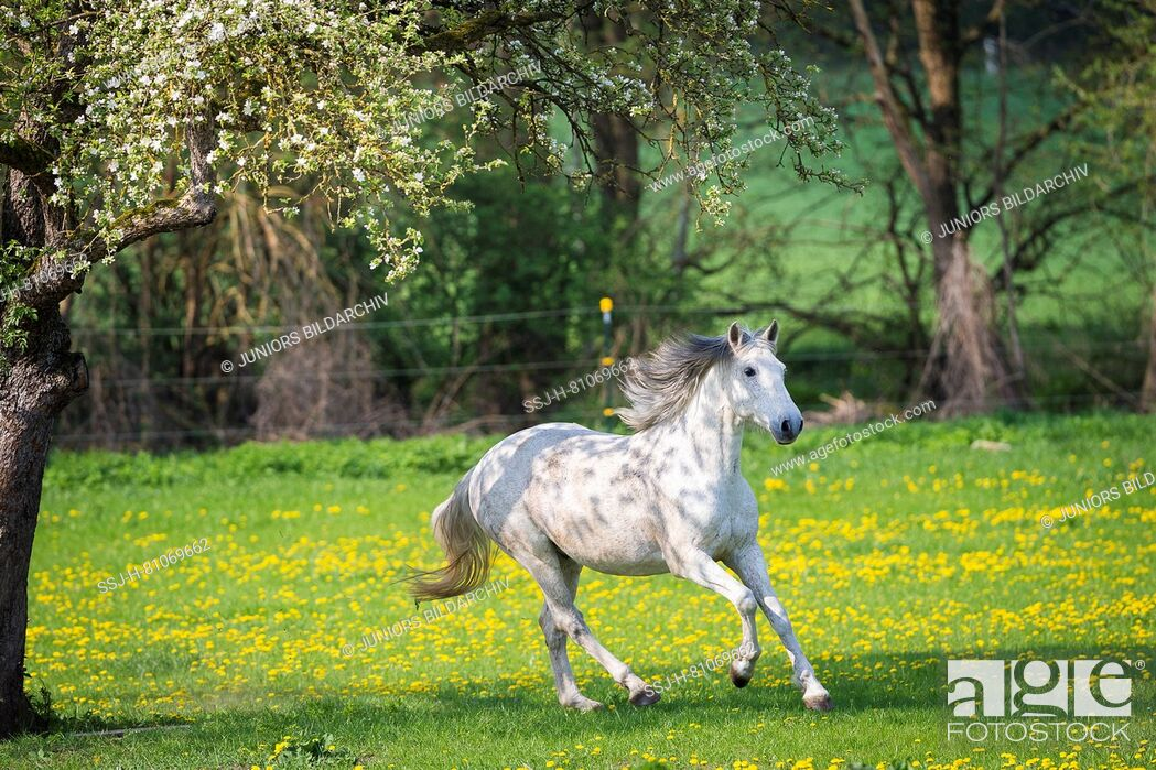 Stock Photo: Lusitano. Gray gelding galloping on a meadow. Germany.