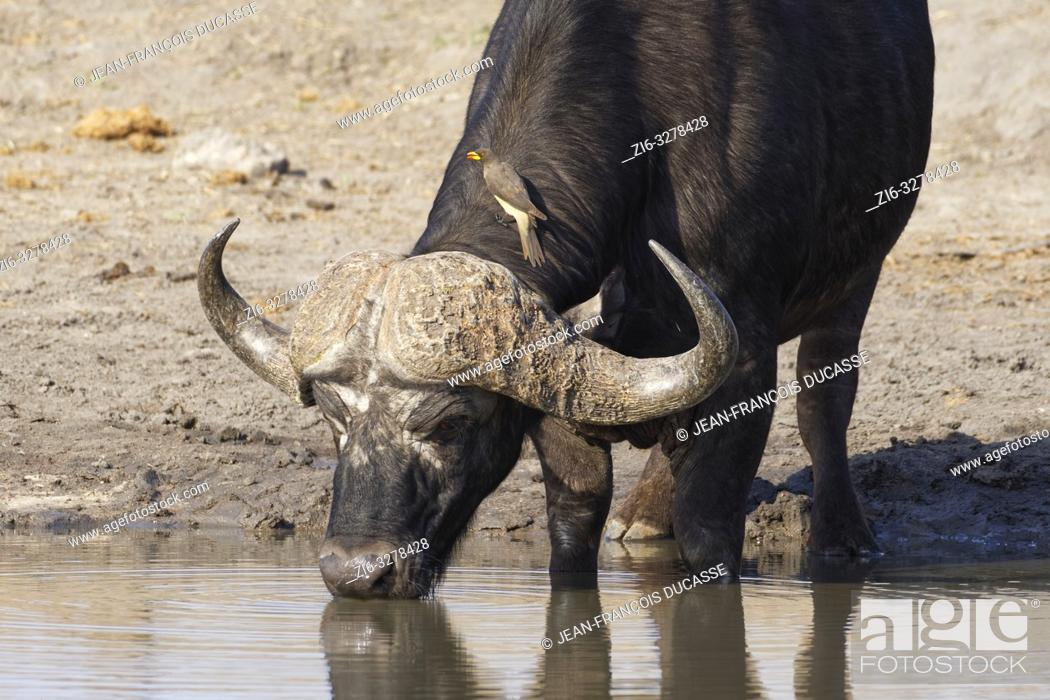 Stock Photo: African buffalo (Syncerus caffer), adult male drinking at a waterhole with a yellow-billed oxpecker (Buphagus africanus) sitting on the neck.