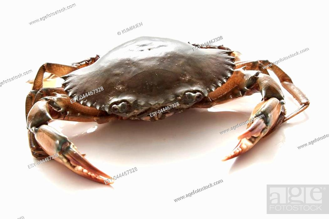 Stock Photo: Crab on white background. Fresh seafood. Serrated mud crab.
