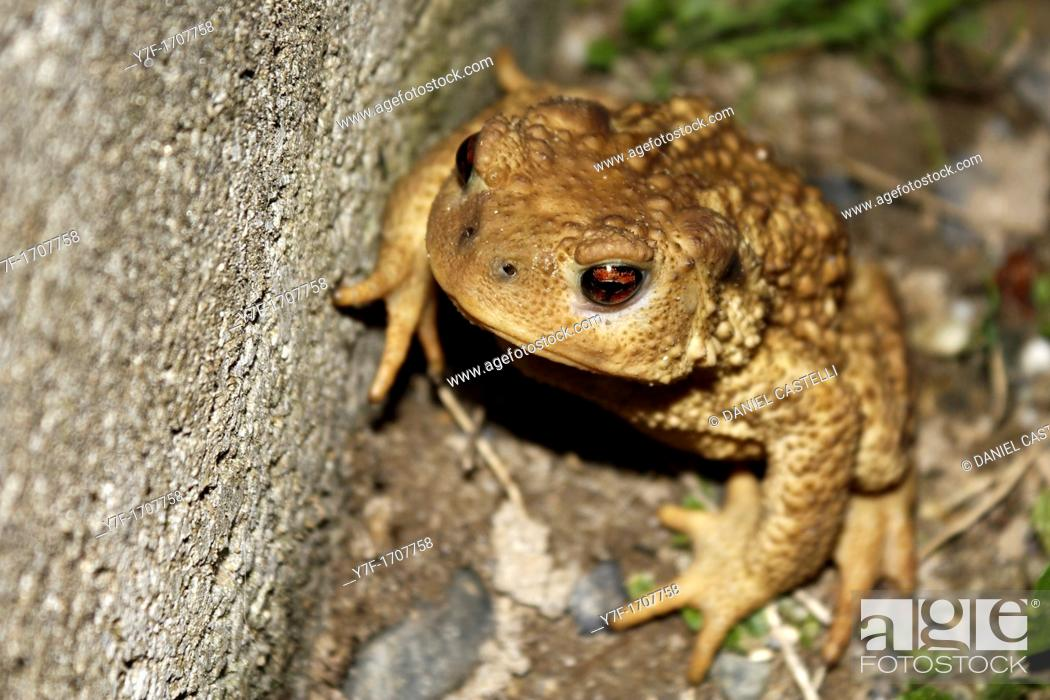 Stock Photo: Portrait of a fat and viscous common toad seated in the grass.