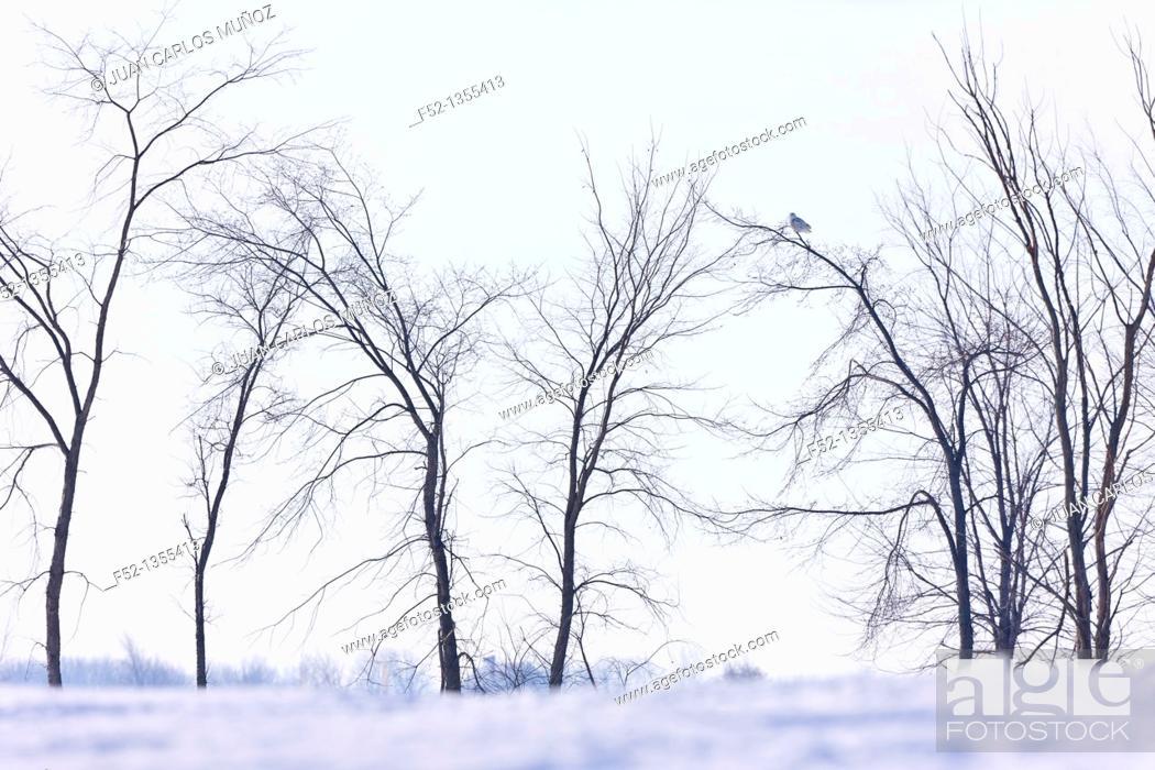Stock Photo: Snowy Owl (Nyctea scandiaca).