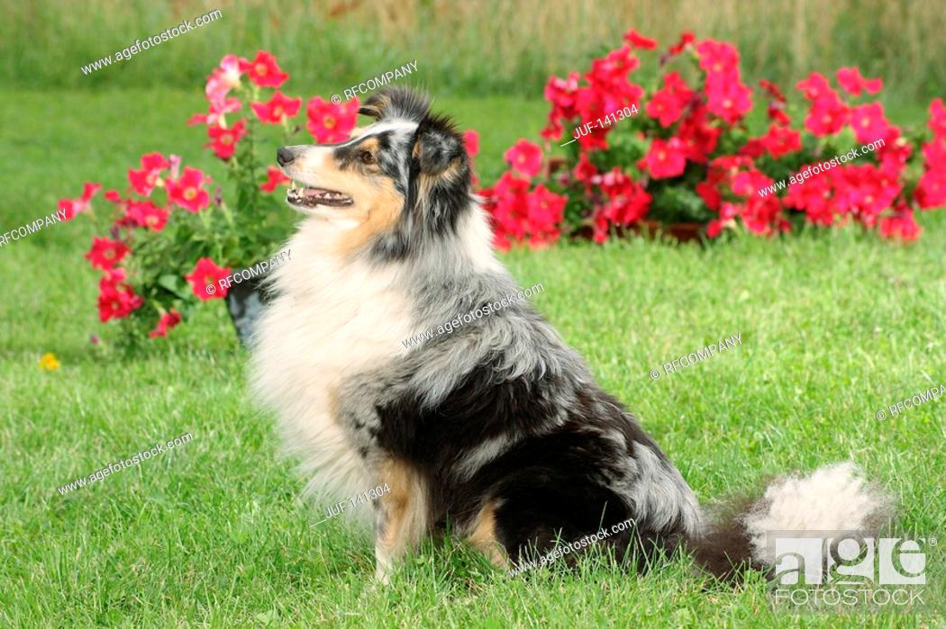 Stock Photo: Sheltie - sitting in front of flowers.