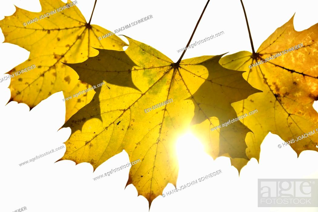 Stock Photo: autumnal colored maple leaves in backlit.