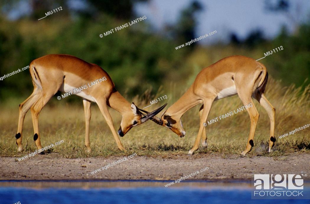 Imagen: Impala males sparring, Aepyceros melampus, Okavango Delta, Botswana.