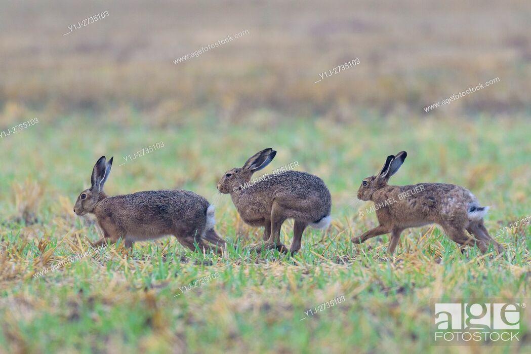 Stock Photo: European brown hares (Lepus europaeus), Hesse, Germany, Europe.