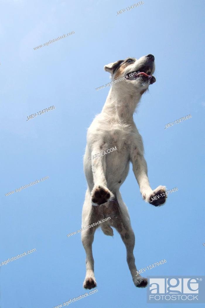 Stock Photo: DOG. Parson Jack Russell standing on glass taken from below.
