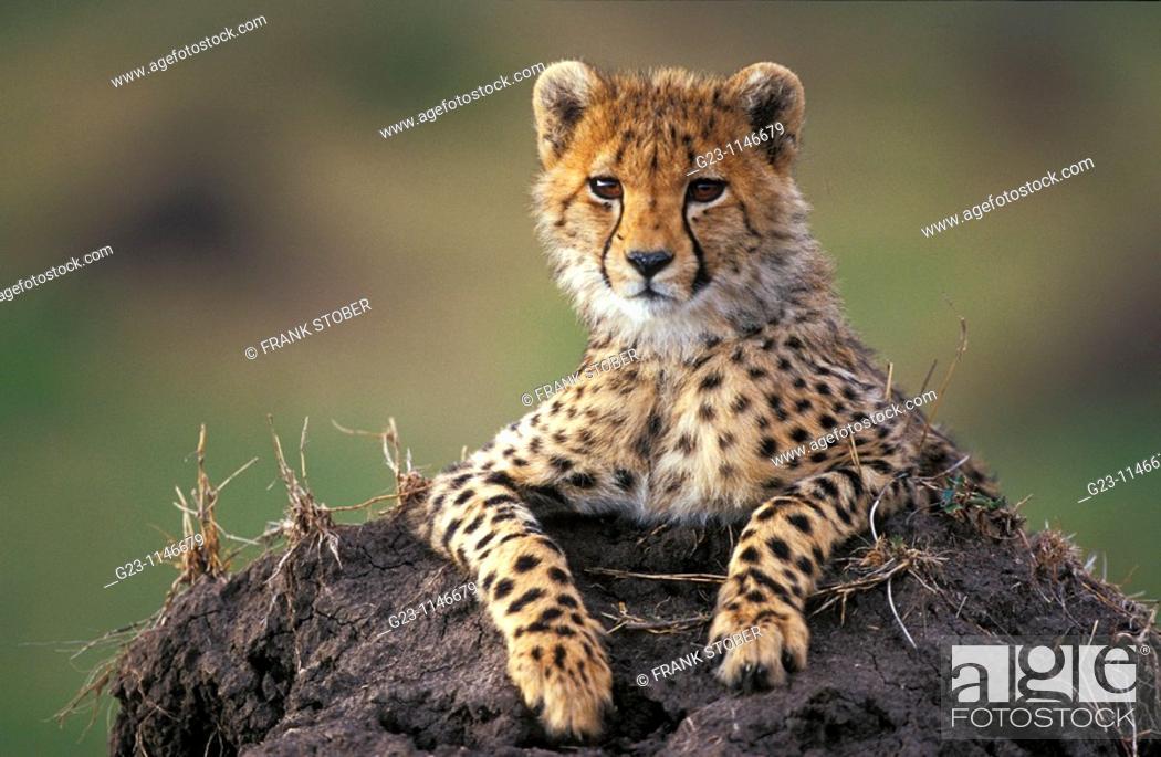 Stock Photo: Cheetah in Massai Mara.