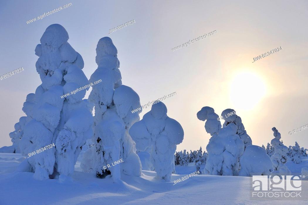 Stock Photo: snow covered spruces, Finland, Pohjois Pohjan, Nordoesterbotten, Kuusamo.