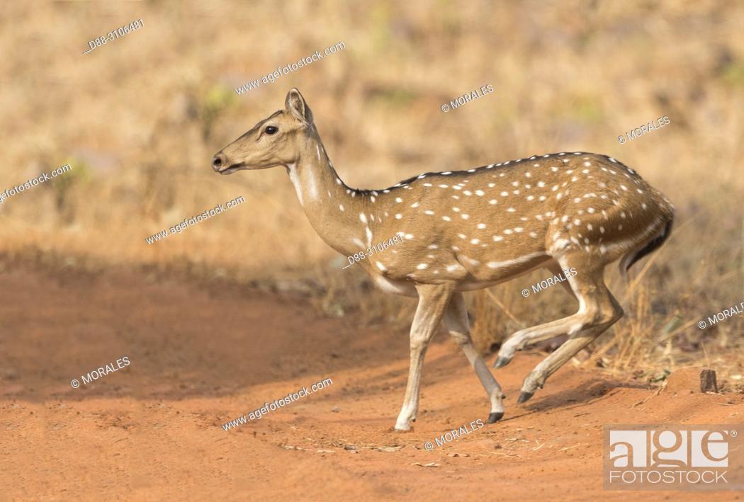 Stock Photo: Asia, India, Maharashtra, Tadoba Andhari Tiger Reserve, Tadoba national park, Chital or Cheetal or Chital deer, Spotted deer or Axis deer( Axis axis).