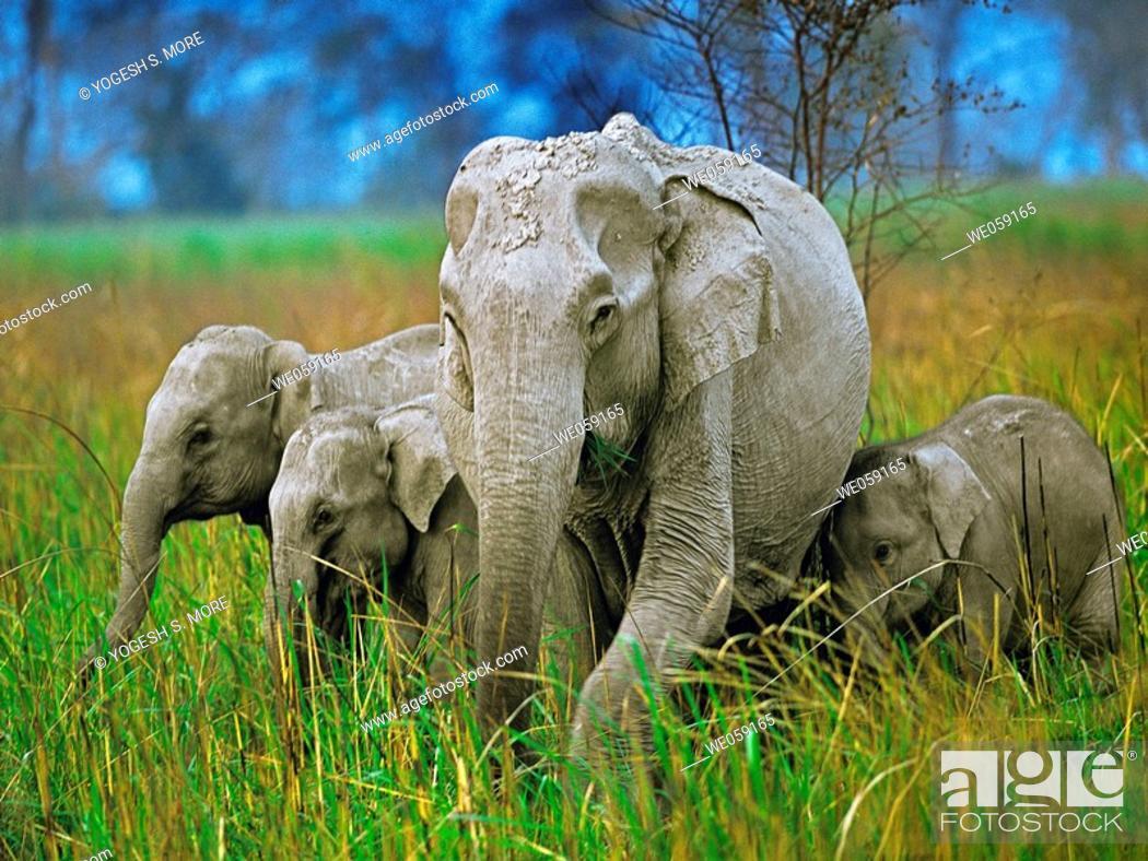 Stock Photo: Indian elephant, Elephas maximus, with their calf. Bandipur Wildlife Sanctuary, Karnataka, India.