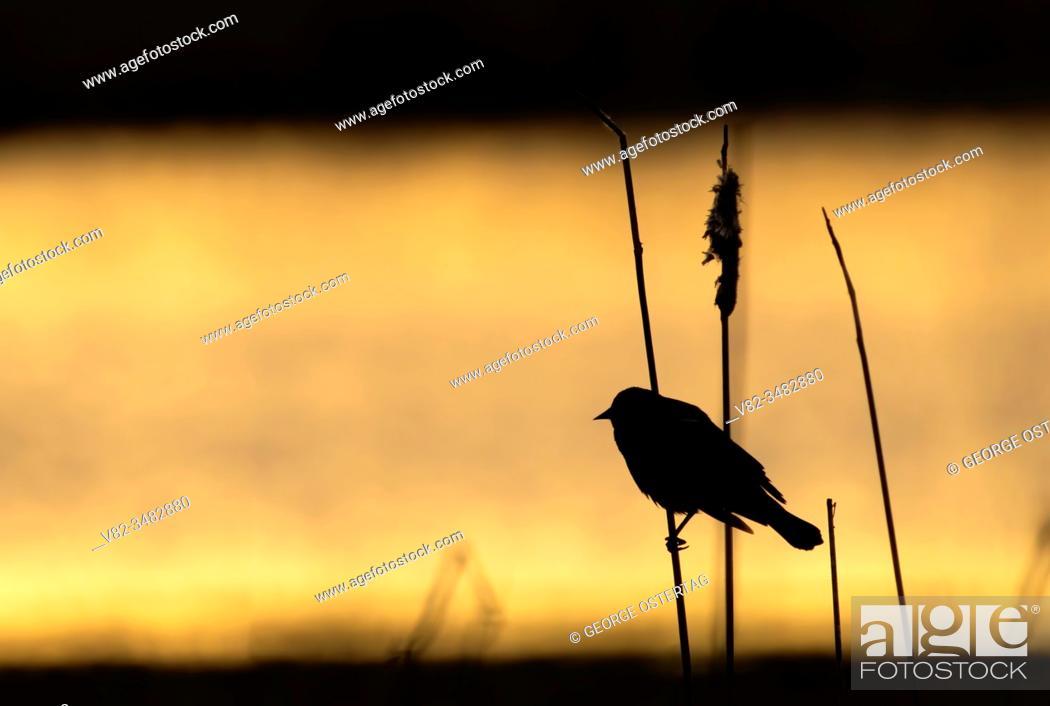 Stock Photo: Red-winged Blackbird (Agelaius phoeniceus) silhouette, William Finley National Wildlife Refuge, Oregon.