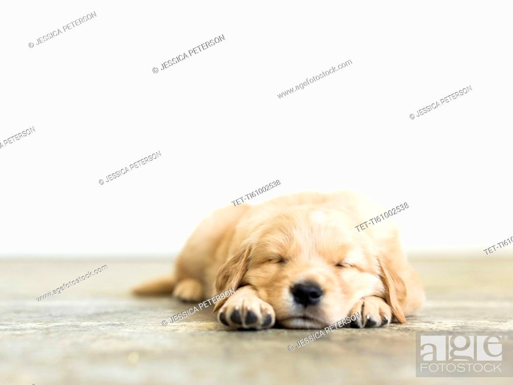 Stock Photo: Portrait of puppy sleeping on wooden floor.