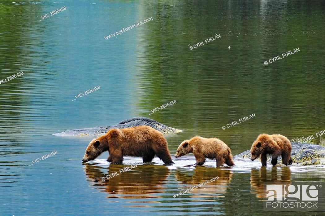 Stock Photo: Grizzly Family Wrangell Alaska.